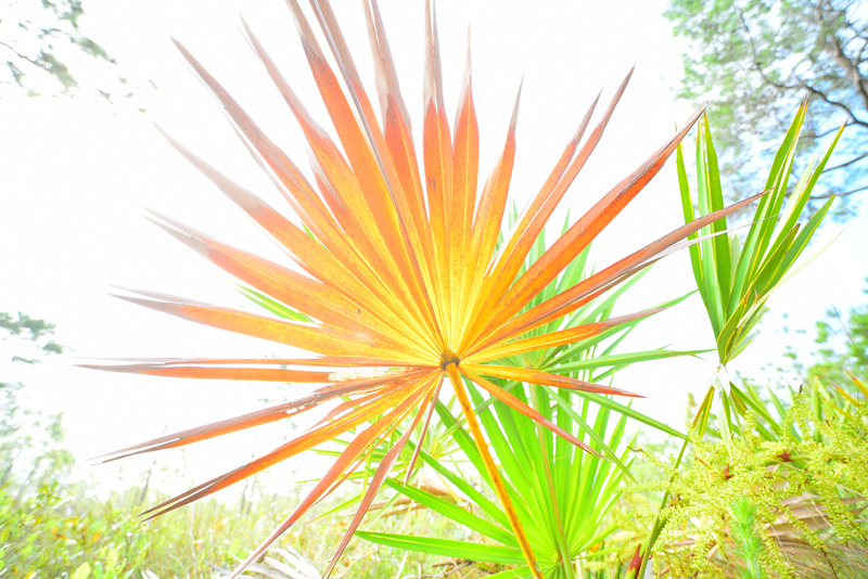 High key low angle shot of saw palmetto frond in forest